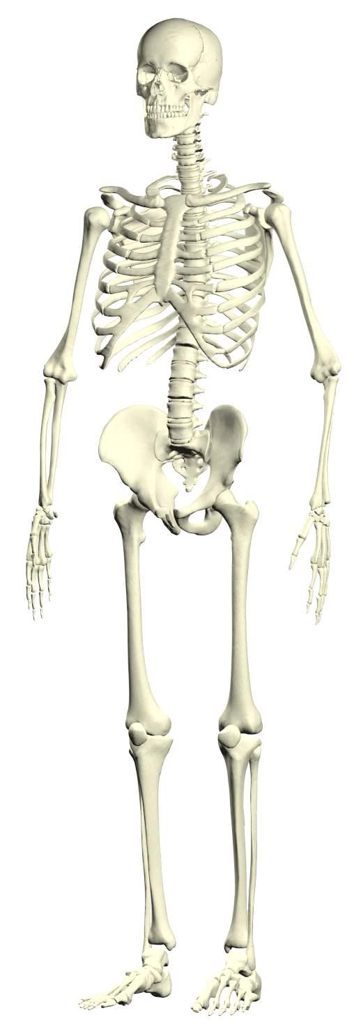 人体骨骼内脏示意图_人体解剖图_人体解剖,人体解剖图片,人体解剖彩图,人体解剖全图 ...